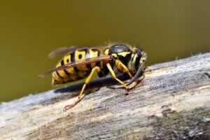 Wasp pests