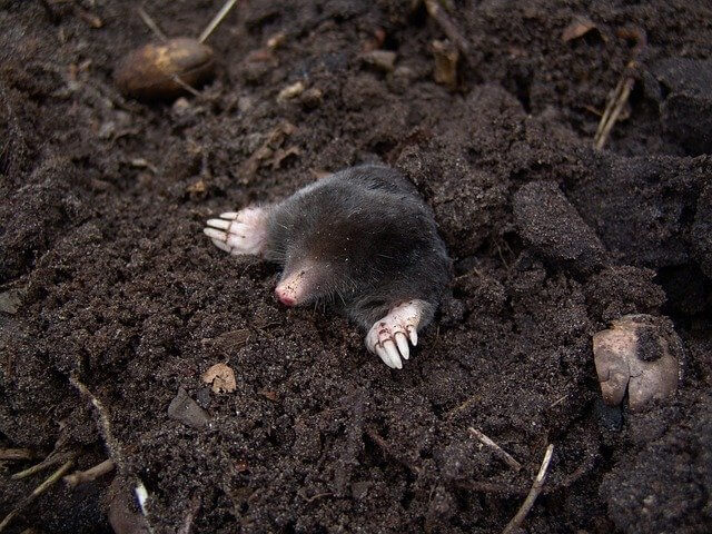 How to Prevent and Get Rid of Moles in The Garden